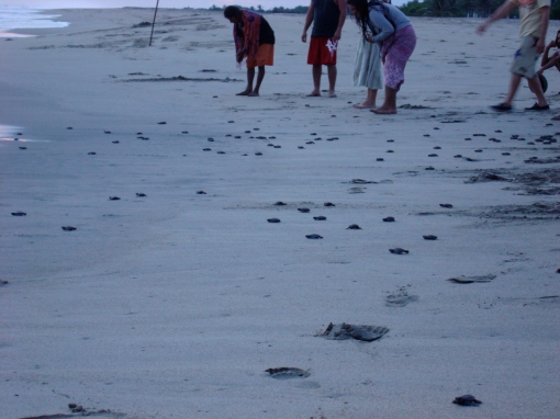 Releasing the baby turtles into the ocean after the hatching by conservation project